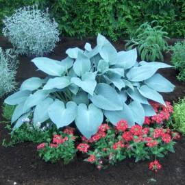 Funkia 'Canadian Blue' Hosta