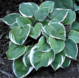 Funkia 'Country Mouse' Hosta