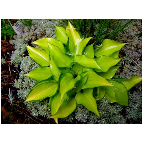 Funkia 'Cracker Crumbs' Hosta