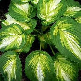 Funkia 'War Paint' Hosta