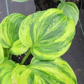Funkia 'William Lachman' Hosta