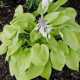 Funkia 'City Lights' Hosta