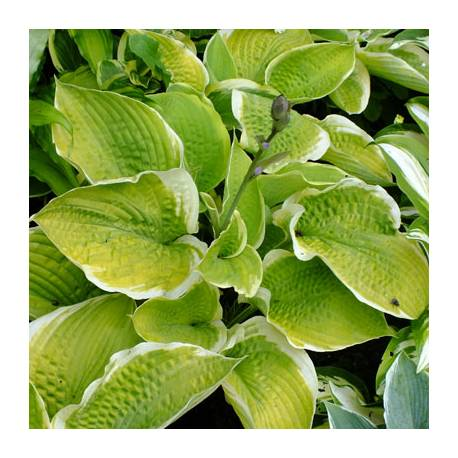 Funkia 'Sunshine Glory' Hosta