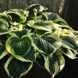 Funkia 'Christmas Pageant' Hosta