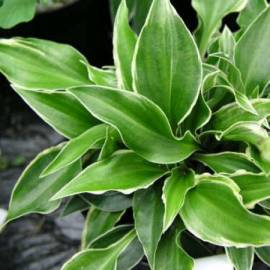 Funkia 'Dixie Chick' Hosta