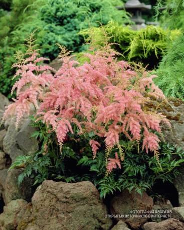 Tawułka pojedynczolistna 'Bronze Elegance' Astilbe simplicifolia