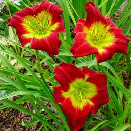 Liliowiec 'Christmas Is' Hemerocallis