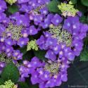 Hortensja ogrodowa 'Frisbee' Hydrangea macrophylla