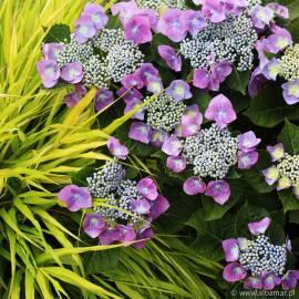 Hortensja ogrodowa 'Blaumeise' Hydrangea macrophylla