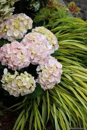 Hortensja kosmata 'Rocklon' Hydrangea aspera