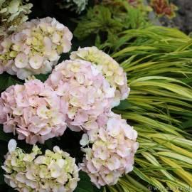 Hortensja ogrodowa 'Saxon Kronentor' Hydrangea macrophylla