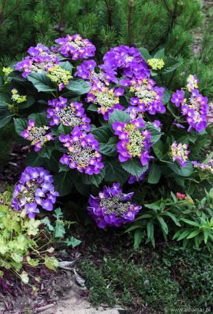 Hortensja piłkowana 'Frisbee Purple' Hydrangea serrata