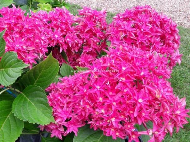 Hortensja ogrodowa You & Me 'Princess Diana' (Wow Time')Hydrangea macrophylla