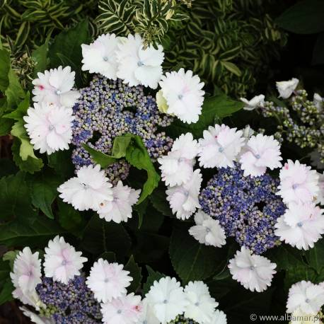Hortensja ogrodowa 'Koria' Hydrangea macrophylla
