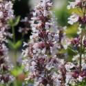 Kocimiętka wielkokwiatowa 'Dawn to Dusk' Nepeta grandiflora