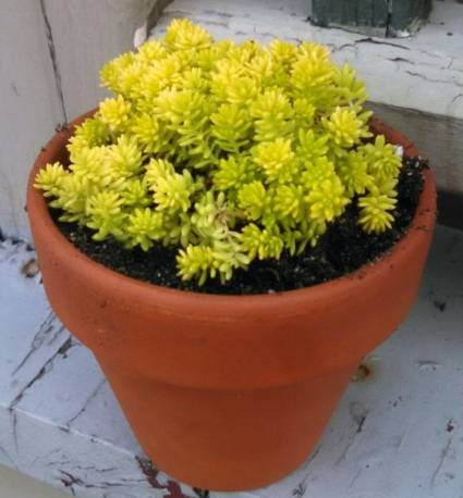 Rozchodnik ościsty 'Yellow Cushion Compact' Sedum reflexum
