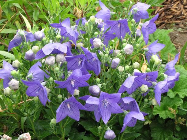 Rozwar wielkokwiatowy 'Astra Blue' Platycodon grandiflorus