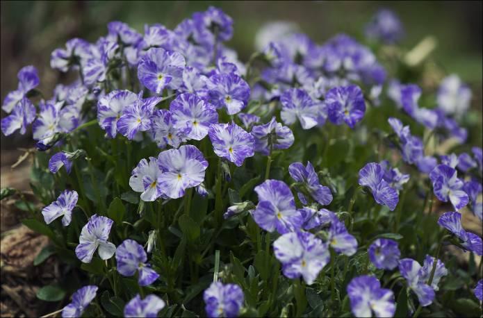 Fiołek rogaty 'Columbine' Viola cornuta