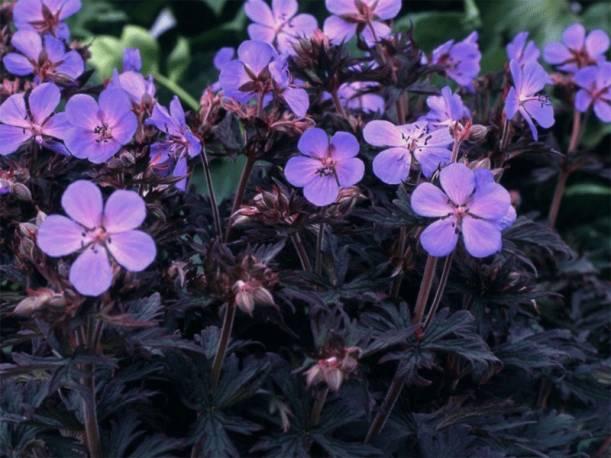 Bodziszek łąkowy 'Black Beauty' Geranium pratense