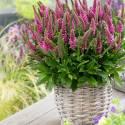 Przetacznik kłosowy 'Bubblegum Candles' Veronica spicata