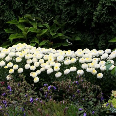 Złocień wspaniały 'Luna' Leucanthemum x superbum