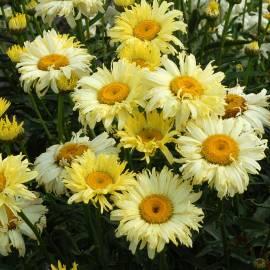 Złocień wielki 'Goldfinch' Leucanthemum maximum