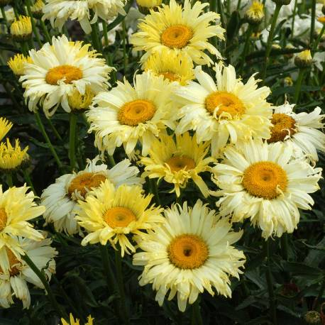 Złocień wielki 'Goldfinch' Leucanthemum maximum