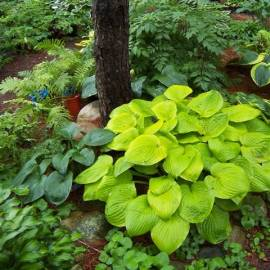 Funkia 'August Moon' Hosta