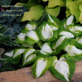 Funkia 'Summer Music' Hosta