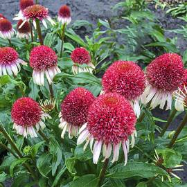 Jeżówka 'Strawberry and Cream' Echinacea