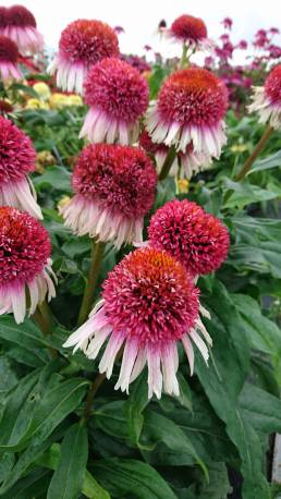 Jeżówka 'Strawberry and Cream' Echinacea