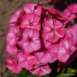 Floks wiechowaty Freckle 'Red Shades' Phlox paniculata