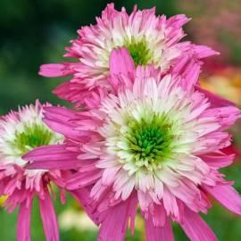 Jeżówka 'Mini Belle' Echinacea