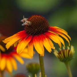 Jeżówka 'Parrot' Echinacea