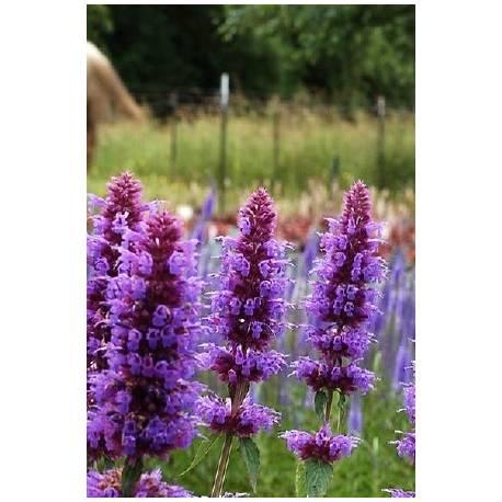 Kłosowiec 'Beelicious Purple' Agastache