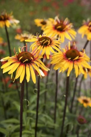 Jeżówka 'Funky Yellow' Echinacea