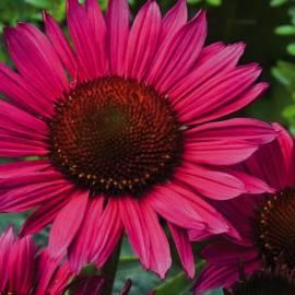 Jeżówka purpurowa 'Vintage Wine' Echinacea purpurea