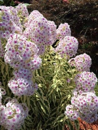 Floks wiechowaty 'Norah Leight' Phlox paniculata