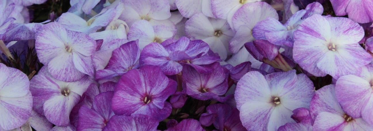 Floks wiechowaty 'Freckle Blue Shades' Phlox paniculata