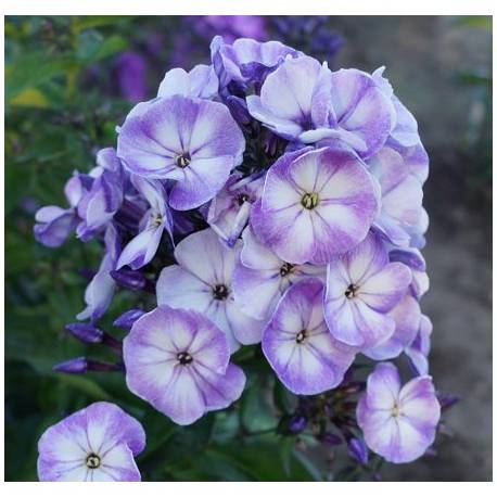Floks wiechowaty 'Younique Old Blue' Phlox paniculata