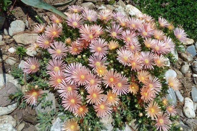 Słonecznica Coopera 'Mesa Verde' Delosperma cooperii