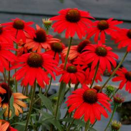 Jeżówka 'Dixie Scarlet' Echinacea