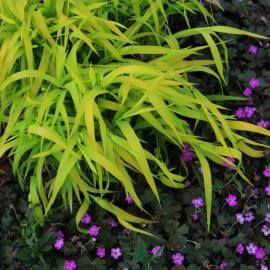 Mozga trzcinowata 'Pure Gold' Phalaris arundinacea