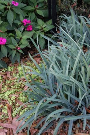 Turzyca 'Bunny Blue' Carex laxiculmus