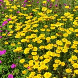 Rumian żółty 'Charme' Anthemis tinctoria