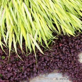 Acena bezbronna 'Purpurea' Acaena inermis