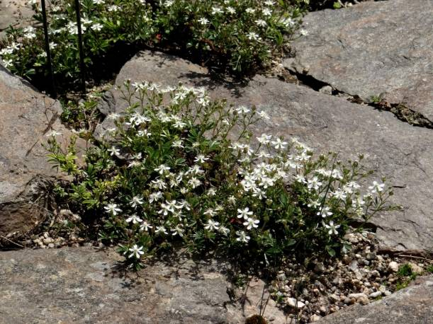 Pięciornik trójząbkowy 'Nuuk' Potentilla tridentata