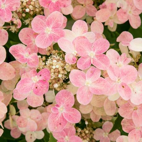 Hortensja bukietowa 'Polestar' Hydrangea paniculata
