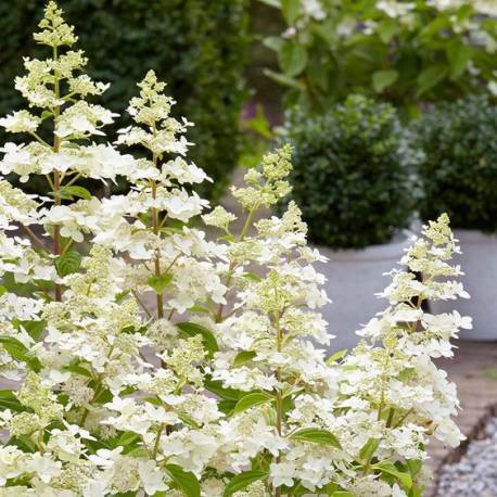 Hortensja bukietowa 'Confetti' Hydrangea paniculata