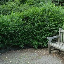 Bambus japoński Pleioblastus argenteostriatus f. pumilus